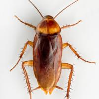 american_cockroach